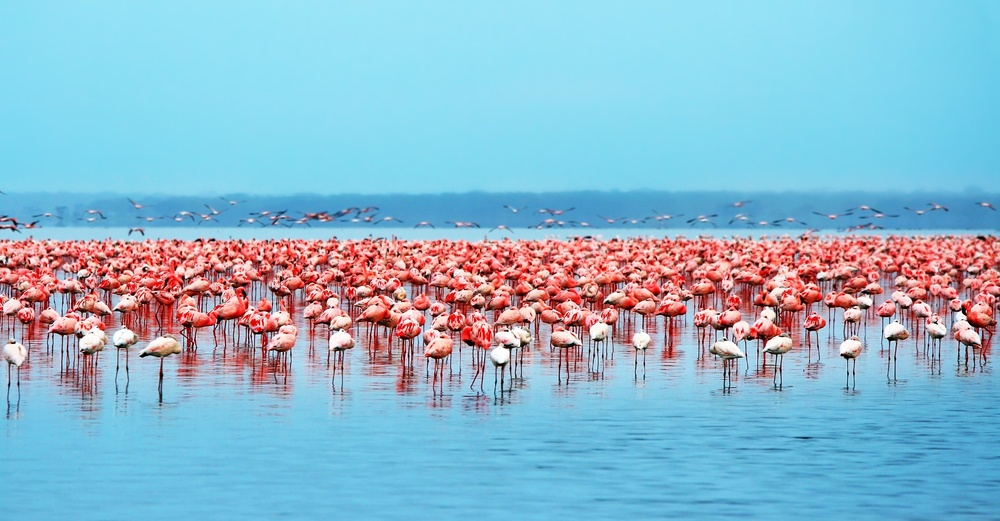 Pink flamingos at lake nakuru
